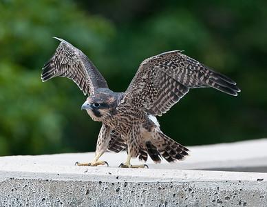 Juvenile Male Falcon Rocky River Reservation