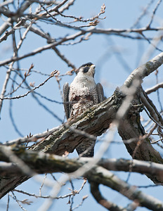 Peregrine Falcon named Hillary in Rocky River Reservation