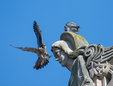 St. Ignatius Church of Antioch Peregrine Falcons