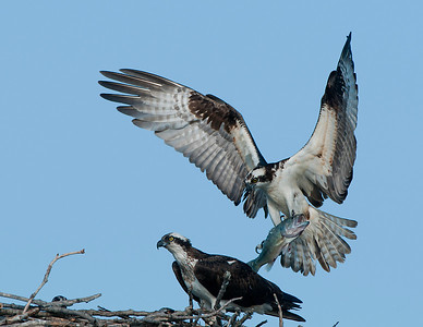 Osprey bringing home dinner!!