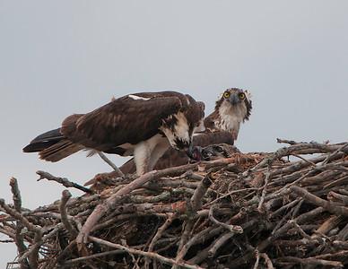 Osprey feeding time