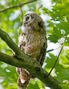 Juvenile Barred Owl Bacon Woods Vermilion, Ohio
