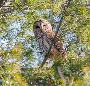 Barred Owl Killdeer Plains