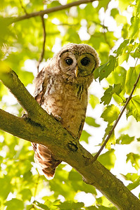 Juvenile Barred Owl Bacon Woods Vermilion, Ohio