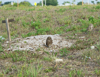 Burrowing Owls near their burrow Cape Coral, Florida.