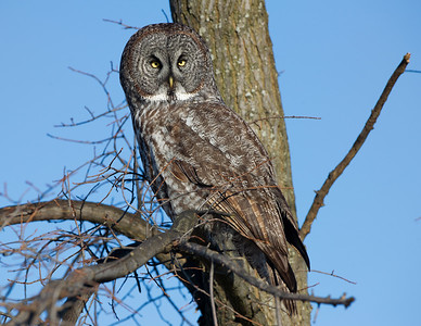 Great Gray Owl Point Pelee Ontario