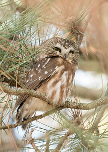 Norther Saw-whet Owl