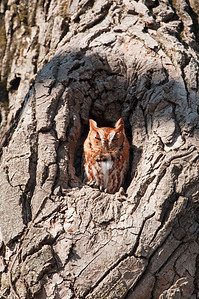 Eastern Screech-Owl Red Morph