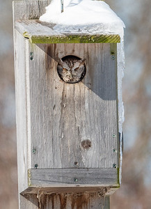 Eastern Screech Owl Magee Marsh