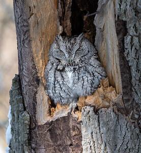 Sandusky Bay Screech Owl