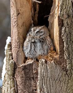 Sandusky Bay Eastern Screech Owl