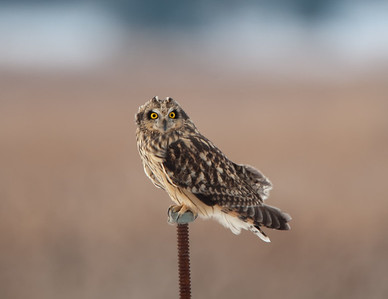 Short-eared Owl at Big Island Wildlife Area near Marion, Ohio