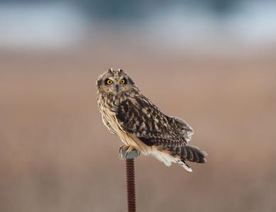 Short-eared Owl at Big Island Wildlife Area near Marion, Ohio