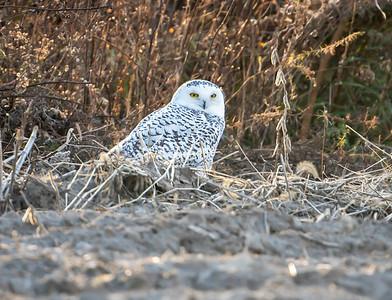Snowy Owl juvenile male
