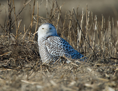 Snowy Owl located near Point Pelee National Park Ontario