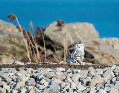 Snowy Owl Lorain Impoundment