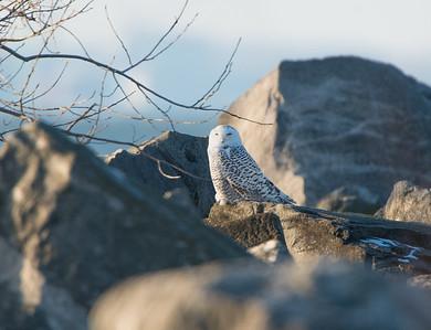 Snowy Owl Huron, Ohio