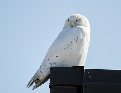 Snowy Owl Cleveland Hopkins Airport