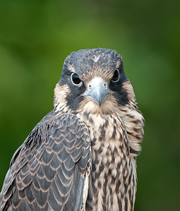 Juvenile Male Falcon Rocky River Reservation