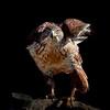 Ferrigunous Hawk, Southern Arizona