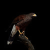 Harris's Hawk, Southern Arizona