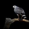 Gray Hawk, Southern Arizona