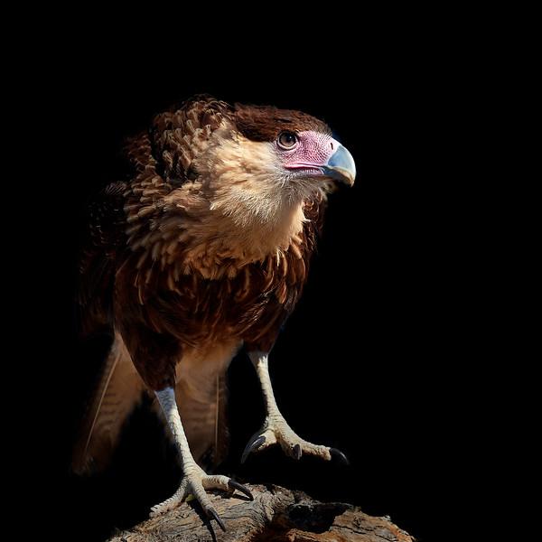Crested Caracara, Juvenile, Southern Arizona