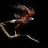 Harris's Hawk, Southern Arizona