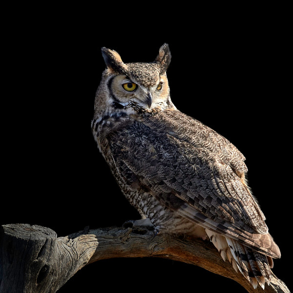 Great Horned Owl, Southern Arizona