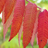 Red leaves,  Lake Renwick Preserve, Plainfield, Illinois