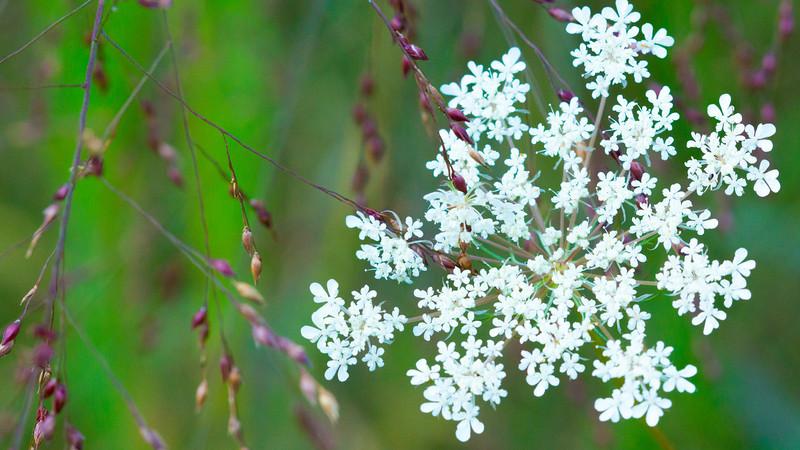 Purple and White Flowers, Lake Renwick Preserve, Plainfield, Illinois