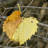 Yellow Leaf,  Lake Renwick Preserve, Plainfield, Illinois