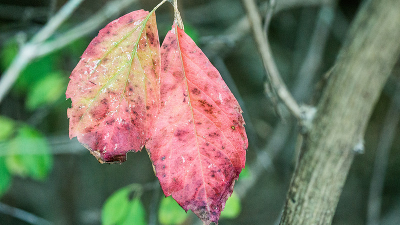 Red Leaves, Lake Renwick Preserve, Plainfield, Illinos
