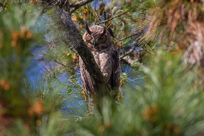 Great Horned Owl Ver  2 IMG_2355