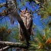 Great Horned Owl IMG_2366