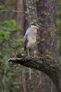 Black-crowned Night Heron IMG_2311