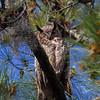 Great Horned Owl IMG_2359