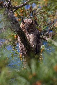 Great Horned Owl IMG_2355