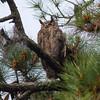 Great Horned Owl IMG_2346