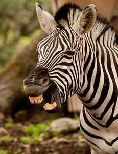 Bored Zebra!