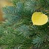 Aspen Leaf