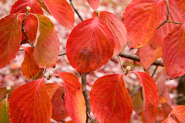 Dogwood Leaves in the Fall