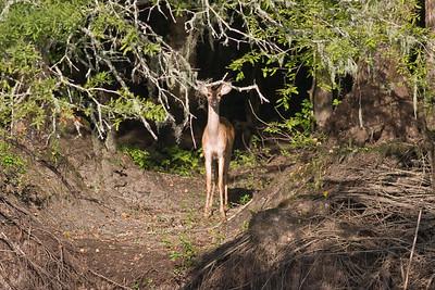 Deer IMG_3565 rev 1