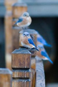Eastern_Bluebirds_IMG_8923_rev_1