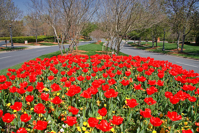 Spring red tulips on Cameron Valley Parkway in Southpark area.