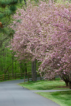 Spring Driveway with Pink Cherry Blooms