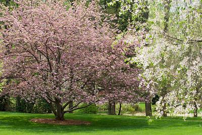 Pink Cherry Tree Blooms