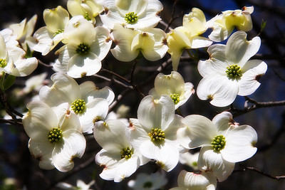 White Dogwood Blooms with Soft Glow Effect