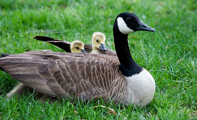 Mother Goose with babies, goslings - Notice the two under the front wings