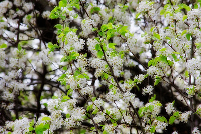 Bradford Pear Tree Bloom with some Green Leaves